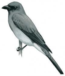 Buru Cuckoo-shrike (Coracina fortis)