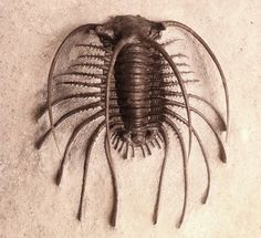 """""""Welcome home to one of the rarest trilobites in the world. Thanks to a gift by Robert Hazen, this fossil of a new Apianurus species is now a part of the Museum's collection. This beautiful fossil was discovered by paleontologist Jake Skabelund in 2011 at the Walcott-Rust Quarry in New York."""" --Deep Time at the Smithsonian Facebook Page"""