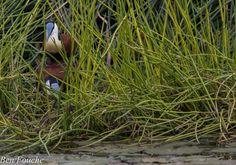 African Jacana, Grootlangtoon, (Actophilornis africanus) http://birdwatcher.co.za/african-jacana-grootlangtoon-actophilornis-africanus-3/