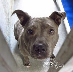 A4855311 My name is Jenna. I am an adorable 4 yr old female blue pit bull mix. My owner left me here on July 13. availabl enow.  I share these photos to help get these dogs seen and hopefully find homes. I do not work for the shelter nor do I rescue or pull. If you are interested in this dog, please contact the shelter directly to find out its availability. NOTE: Pit bulls are not kept as long as others so those dogs are always urgent!!  Baldwin Park shelter Open for Adoptions 7 days a Week…
