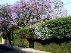 Jacarandas in Cuernavaca, Morelos, Mexico. One of my favorite trees.