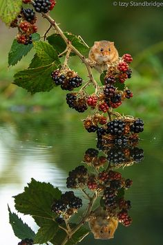 Hamster in the berries- Hamsters, Rodents, Nature Animals, Animals And Pets, Cute Animals, Cute Creatures, Beautiful Creatures, Harvest Mouse, Mouse Photos