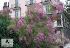 Tamarix ramosissima 'Pink Cascade' (T. pentandra 'Pink Cascade') - гребенник разветвленный