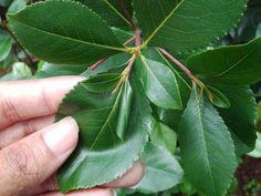 Tea Benefits, Herbalism, Plant Leaves, Healthy, Plants, Herbal Medicine, Plant, Health, Planets