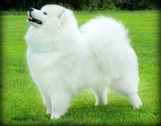 10 reasons to choose a Samoyed dog: http://thracianglory.com/en/10-reasons-samoyed/