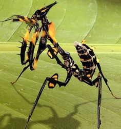 giant devil flower mantids (idolomantis diabolica)