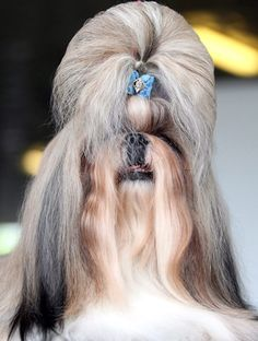 Doggie bouffant (Tatyana Zenkovich / EPA)