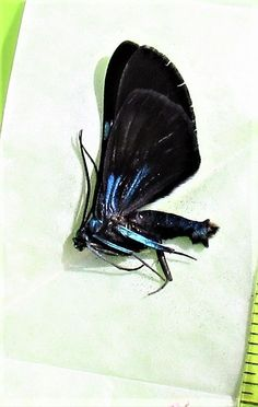 Lot of 10 Beautiful Day Flying Moth Milionia delicatula Folded FAST FROM USA