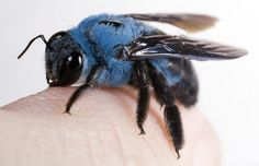 Xylocopa caerulea, the Blue Carpenter Bee. Xylocopa caerulea is a relatively large species, reaching an average size of 23 millimetres in). The thorax region of these insects are covered with light blue hairs, giving it a striking blue colour. Cool Insects, Bugs And Insects, Beautiful Creatures, Animals Beautiful, Cute Animals, Mantis Religiosa, Carpenter Bee, I Love Bees, Cool Bugs