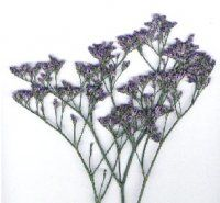Bulk Limonium.  Starting at $156.95.  Common Name: Limonium, Misty Blue    Description: Narrow stem breaking off into additional stems with small papery clusters of tiny blossoms. An airy flower. The stems branch to 24-36 inches long.