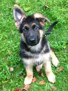German Shepherd puppy :) <3          I have a German Shepard they are soooo sweet!!!!