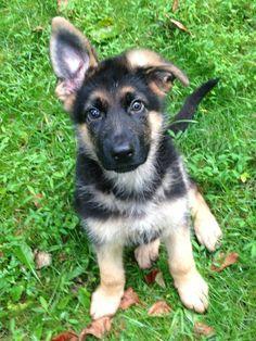 German Shepherd puppy :) <3          I have a German Shepard they are soooo sweet!!!!