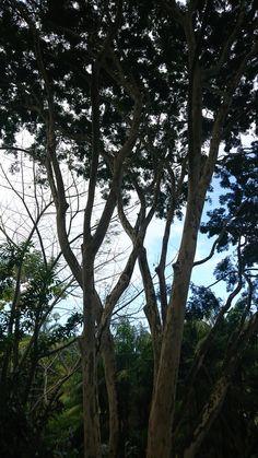 Leopard tree Brazilian ironwood Caesalpinia ferra