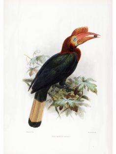 20 Lord Waldens Hornbill