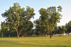 Find Van Zyverden Pecan Tree Collection, Set of 3 Root Stocks in the Trees category at Tractor Supply Co.The pecan tree is native to North Ameri Fast Growing Shade Trees, Growing Tree, Growing Plants, Best Shade Trees, Fruit Trees, Trees To Plant, Arbor Day Foundation, Backyard Trees, Arbour Day