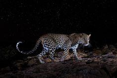 World Photography, Photography Awards, Kenya, Long Exposure Photos, Starry Night Sky, Leopards, Under The Stars, Black Panther, Wild Life