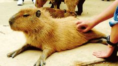 """Look at this fuckin capybara. It's like a guinea pig ran out of fucks to give and grew to a zillion times its natural size."" - reddit post title"