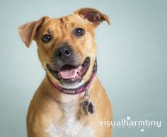 """Charlene (AKA Charlie) is a Staffordshire Bull Terrier/Boxer Mix up for adoption in Phoenix, AZ! Here's what AZ Prussian Snailhound Dog Rescue has to say about her: """"Charlene is a lovebug! She is truly a great dog with a wonderful, loving personality! She is friendly and playful."""""""