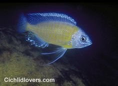 Copidochromis borleyi mbenji - I have a beauty in my tank... very handsome fish.