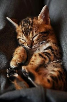 Bengal Cat: Top 5 Cute And Cuddly Exotic Pets | http://whatwomenloves.blogspot.com/2014/04/top-5-cute-and-cuddly-exotic-pets.html