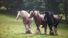 the split pea Cute Horses, Horse Love, Beautiful Horses, Animals Beautiful, Cute Animals, Equine Photography, Animal Photography, Gypsy Horse, Gypsy Wagon