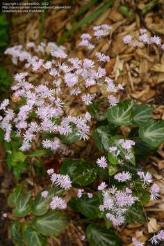 PlantFiles Pictures: Thalictrum, Chinese Meadow Rue 'Evening Star' (Thalictrum ichangense) by Carkeekfish Ground Cover, Plants, Meadow, Garden Plants, Shade Garden Plants, Shady, Garden Planning, Garden, Garden Projects
