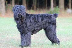 11 month old Meeka (Black Russian Terrier)