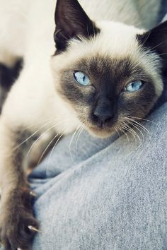 Beautiful Siamese / Ani J