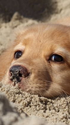 Golden Retriever puppy. Adopt dont shop. Ten thousand innocents are put to sleep in pounds EVERY single day in the US.Responsible breeding is an oxymoron.Animals are not products to exploit for profit. Breeders and their customers are ignorant and cause tremendous suffering.
