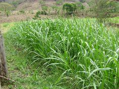 Edgard A. Lira  Semilla certificada de Maralfafa, 50 kg. a sus 65 días después de sembrado. Sin fertilizante químico, solo con estiércol vacuno.