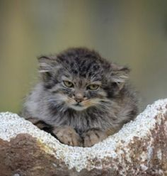 Small Wild Cats, Big Cats, Cats And Kittens, Cute Cats, Felis Manul, Manul Cat, Animals And Pets, Baby Animals, Cute Animals