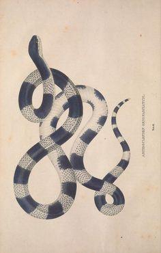 Aspidoclonion semifasciatum (Halbgebänderter Schildrücken). Descriptiones et icones amphibiorum. By Wagler, Johann Georg, 1800-1832. Biodiversity Heritage Library.