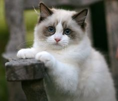 Cute little Rag Doll cat. Sweet, soft, mellow and loves to follow people around.