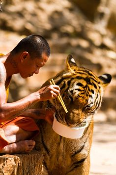 Thai Buddhist Monk feeding a tiger from his own bowl in Tiger Temple, or Wat Pha Luang Ta Bua, which is a Theravada Buddhist temple in western Thailand that was founded in 1994 as a forest temple and sanctuary for wild animals, among them several tigers, mostly Indo-chinese Tigers.