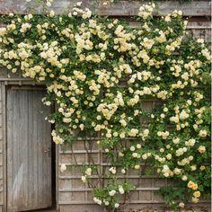 Malvern Hills - English Rose - bred by David Austin