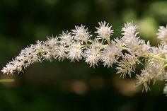 astilbe microphylla - ちだけさし