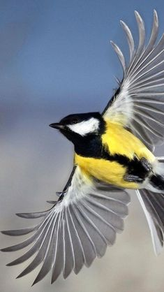 The Great Tit (Parus major) is a passerine bird in the tit family Paridae. It is a widespread and common species throughout Europe, the Middle East, Central and Northern Asia, and parts of North Africa in any sort of woodland.