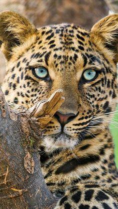 Panthère / léopard