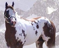"showgirlglitz: ""Amazingly Cool (Spanish N Cool x Obviously Amazing) 2003 16h Sorrel Overo APHA Stallion """