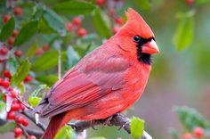 cardinal birds Birding Basics to Attract Northern Cardinals - Birds and Blooms Northern Cardinal, Bird House Kits, Cardinal Birds, How To Attract Birds, Bird Food, Backyard Birds, Garden Birds, Garden Art, Colorful Birds