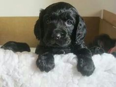 Love this adorable cute black Cocker Spaniel Puppy ♥ ♥ ♥ Black Cocker Spaniel Puppies, American Cocker Spaniel, Boxer Dogs, Pet Dogs, Pets, Cute Puppies, Dogs And Puppies, Cockerspaniel, Fru Fru
