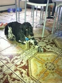 Animal ID	23560331  Species	Dog  Breed	Spaniel, American Cocker/Mix  Age	10 years 1 month  Sex	Male  Date Lost	8/11/2014  Location Lost	Horton Avenue, 74  City, State	VALLEY STREAM, NY Size	M Color	Black / White Declawed	No Collar 1	Blue Nylon Report Type	Lost