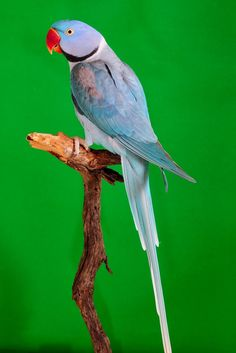 Blue Alexandrine Parrot | Photo Gallery Menu. kleinboschbirds.co.za
