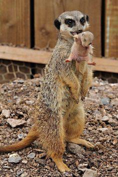 Suricata, suricato o gato de roca (Suricata suricatta) El período de gestación…