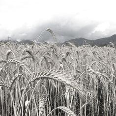 #field #austria #vorarlberg #mountain #wheat #corn #agriculture #nature #zoom Agriculture, Austria, Mountain, Nature, Naturaleza, Nature Illustration, Off Grid, Natural, Mountaineering