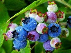 Organic Heirloom 100 Bush Blueberry Blueberries Blue by seedsshop, $1.79