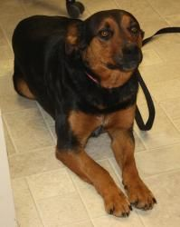 W.VIRGINIA ~ URG'T ~ meet Roxie a 3y/o #adoptable #Rottweiler blended #dog in Cottageville.  She may be 55bs but she thinks she's a lap dog <3 She loves to cuddle, be cuddled & is a friendly girl-  much prettier than her pictures show. Just scratch her ears  & she's your buddy forever. She wags her  stub  tail a lot showing ppl & dogs she wants to be friends. Her rich brown seek her human's approval.~ Jackson County AC 86 County Farm Rd   Cottageville, WV 25239 P 304-372-6064 --pin 1.9