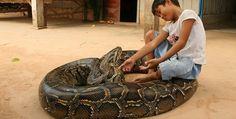 Oun Sambath and his pet python.