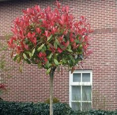 Boompjes voortuin Photinia Fraseri Red Robin, Photinia Red Robin, Small Front Yard Landscaping, Garden Landscaping, Summer Garden, Home And Garden, Geranium Rozanne, Small Garden Landscape, Border Plants