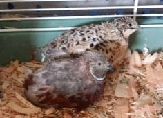 Red breasted male and female button quail birds